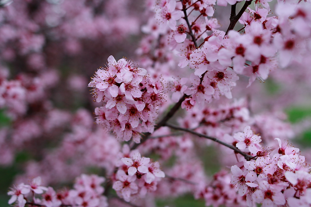 What Is The Sound A Thousand Plum Flowers