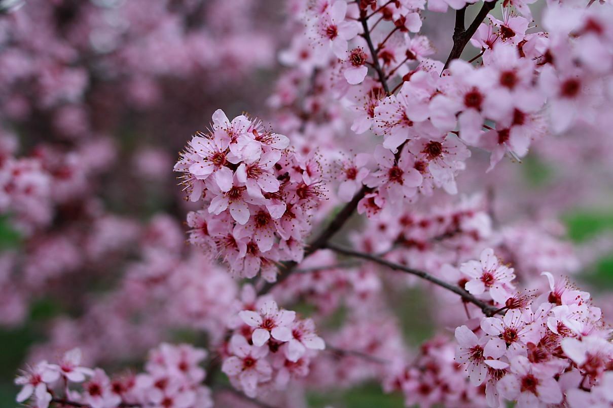 plum-tree-blossom-spri...